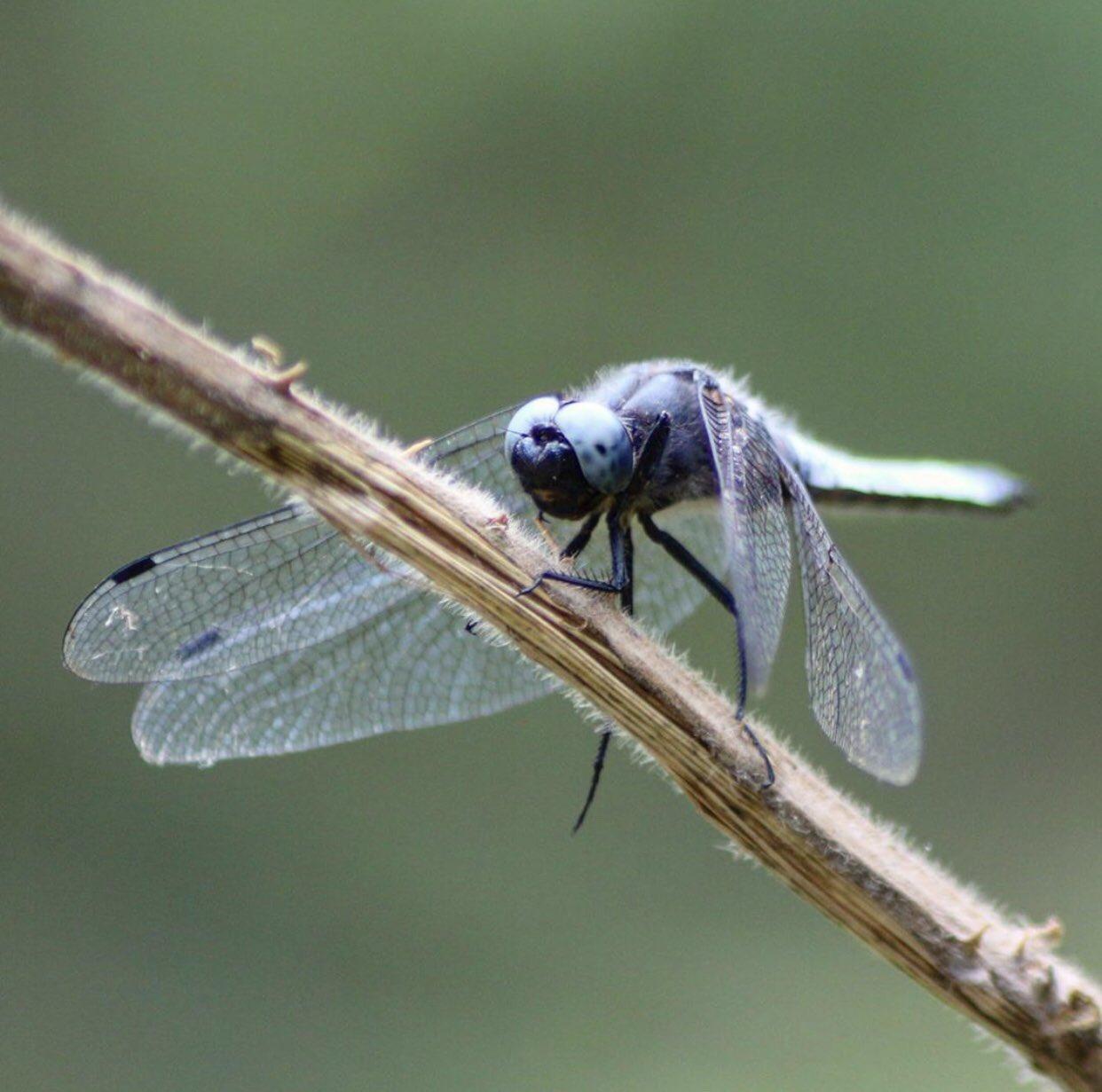 Yusufçuk böceği uzun gövdelere, şeffaf kanatlara ve büyük gözlere sahip böceklerdir.Halk arasında Helikopter böceği olarak da bilinirler. Anisoptera denilen bilimsel alt dizinin bir parçası olan 5.000'den fazla yusufçuk türü vardır.  Fotoğraf: @emrealtins https://t.co/X4i6Zu0Wcu