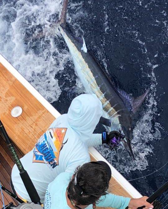 St Thomas, USVI - Blue Heaven went 1-2 on Blue Marlin.