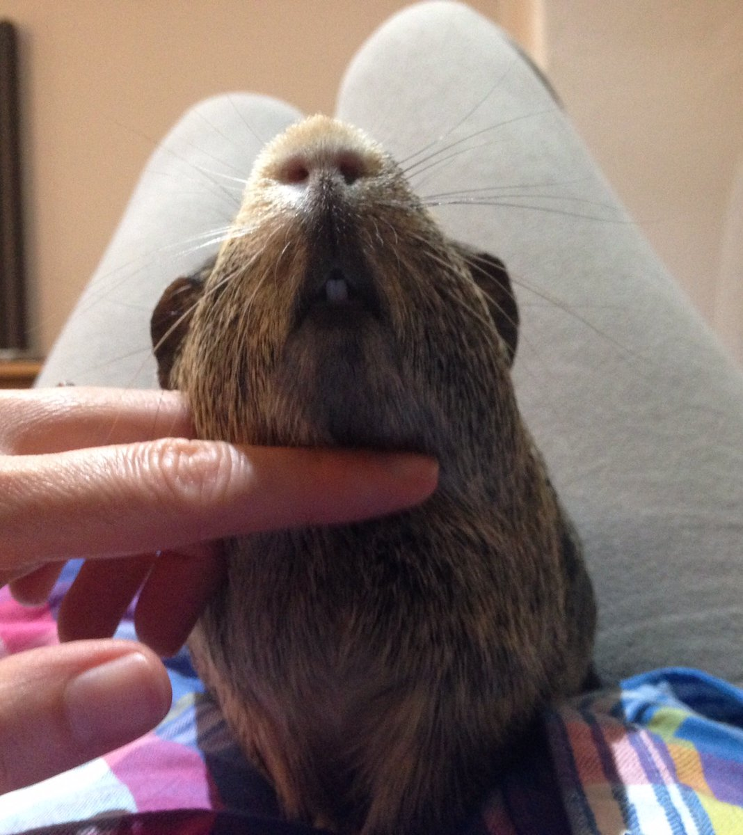 Hurrah  It's #GuineaPigAppreciationDay (about time I say). I will be demanding chin rubs, strokes and snacks if anyone wants me  <br>http://pic.twitter.com/5jmGiIrwkW