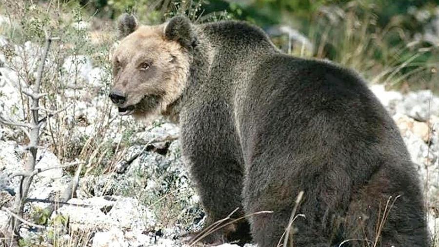 L'orso in fuga riaccende le polemiche. Costa: �...