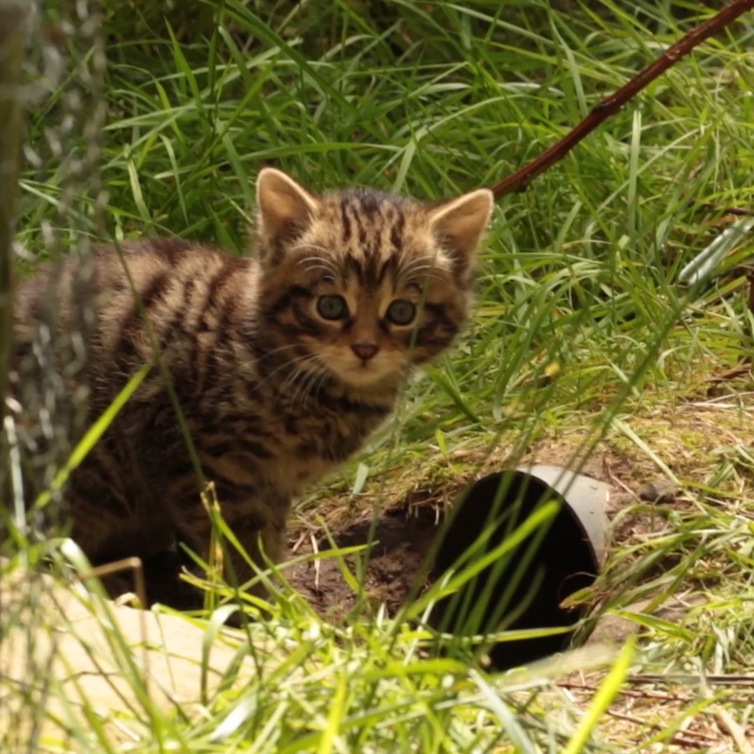 The battle to secure a foothold for Scottish wildcats lies in the future of kittens like these!  😻