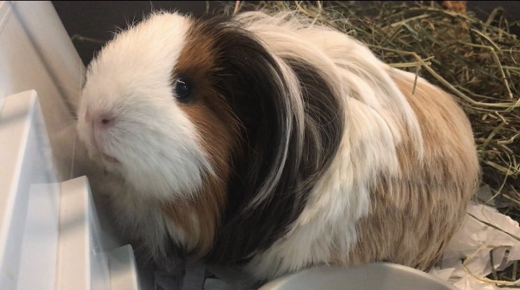 Happy Guinea Pig Appreciation Day from Walnut   #GuineapigAppreciationDay <br>http://pic.twitter.com/JxIp0otvsD
