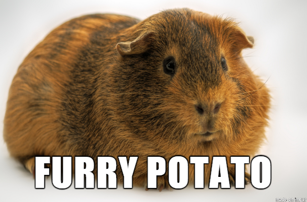 Did you know Guinea Pigs are born fully furred, eyes open and with a full set of teeth?  #GuineaPigAppreciationDay <br>http://pic.twitter.com/vpGFo6IWz8