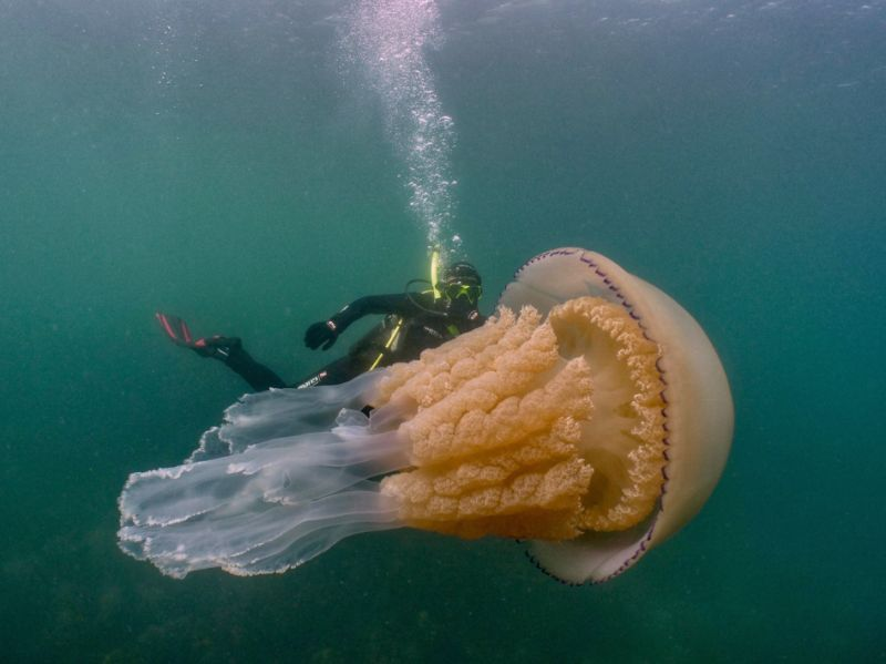 #Science: 1.5-metre #jellyfish (roughly as big as a human 😱) spotted off coast of #Cornwall ► https://www.theguardian.com/uk-news/2019/jul/15/giant-jellyfish-cornwall-coast-divers… via @guardian