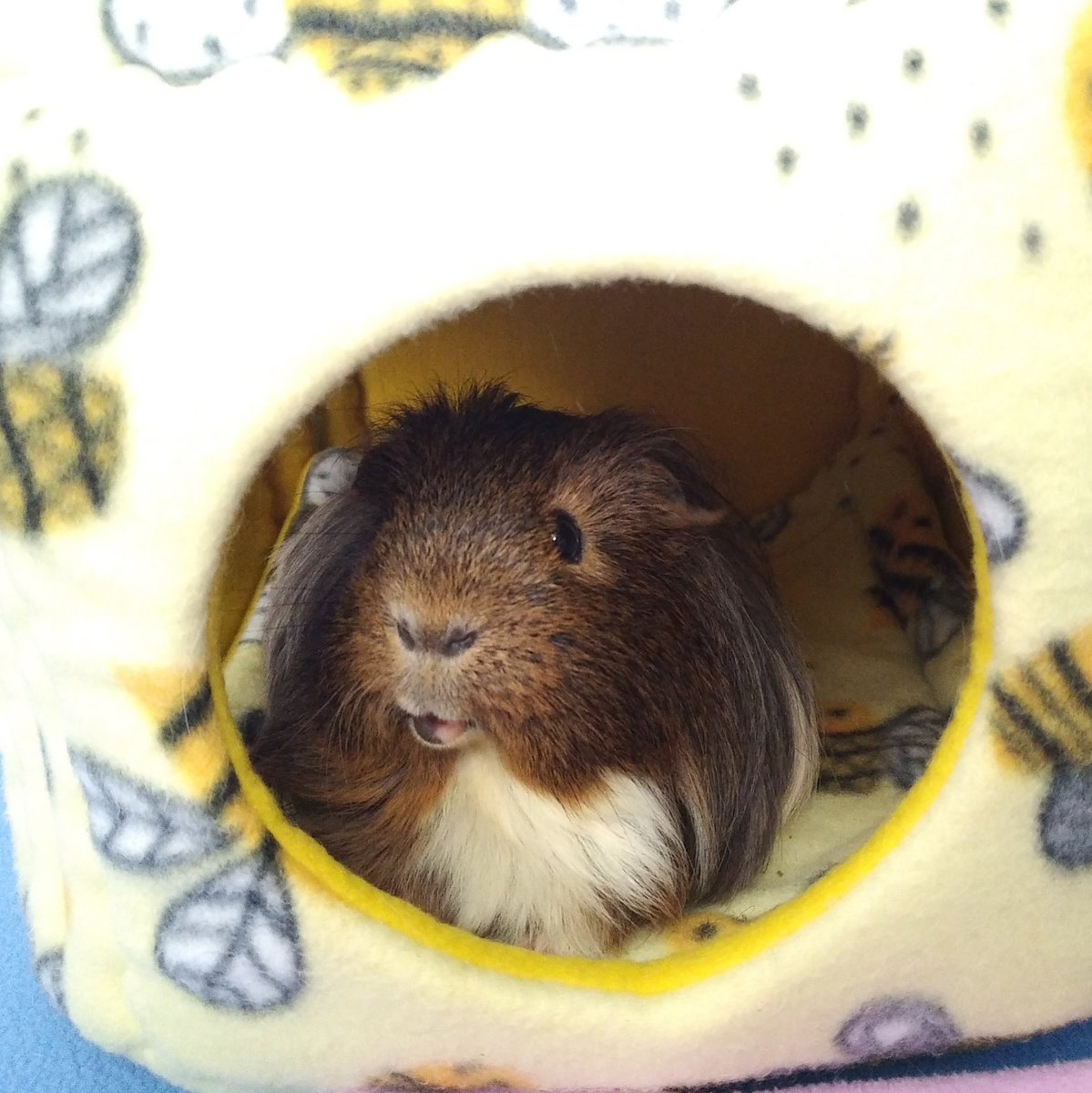 I'll stay here and wait for my #GuineapigAppreciationDay snacks  #guineapigs #CUTENESS #fluffy #mylove #MyHeart<br>http://pic.twitter.com/1uRsuiSn5I