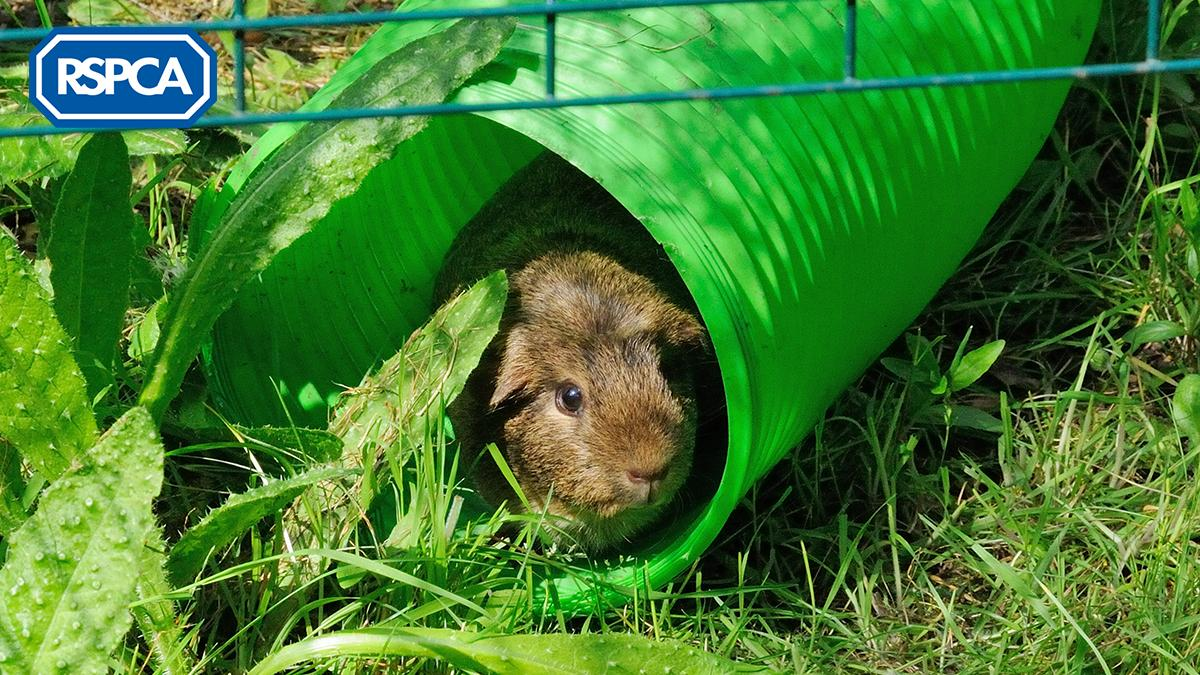 So far this year we've received over 550 calls from people concerned about the welfare of guinea pigs. This #GuineaPigAppreciationDay we'd love to see pictures of your peaceful, playful, pleased, and peppy piggies! Tweet us your pics below! <br>http://pic.twitter.com/SLpaNdIUe1