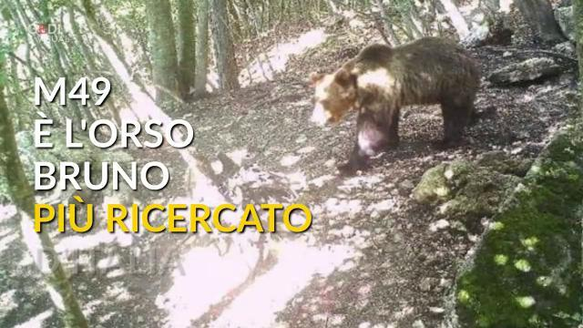 M49, dalla cattura alla fuga: l'orso bruno più ri...