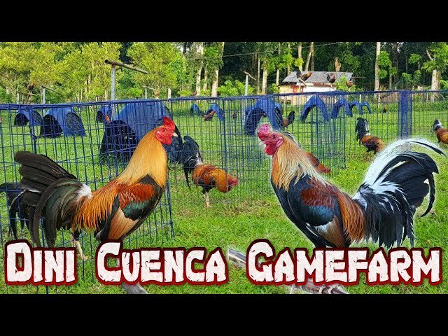 GameFowl tagged Tweets and Download Twitter MP4 Videos | Twitur