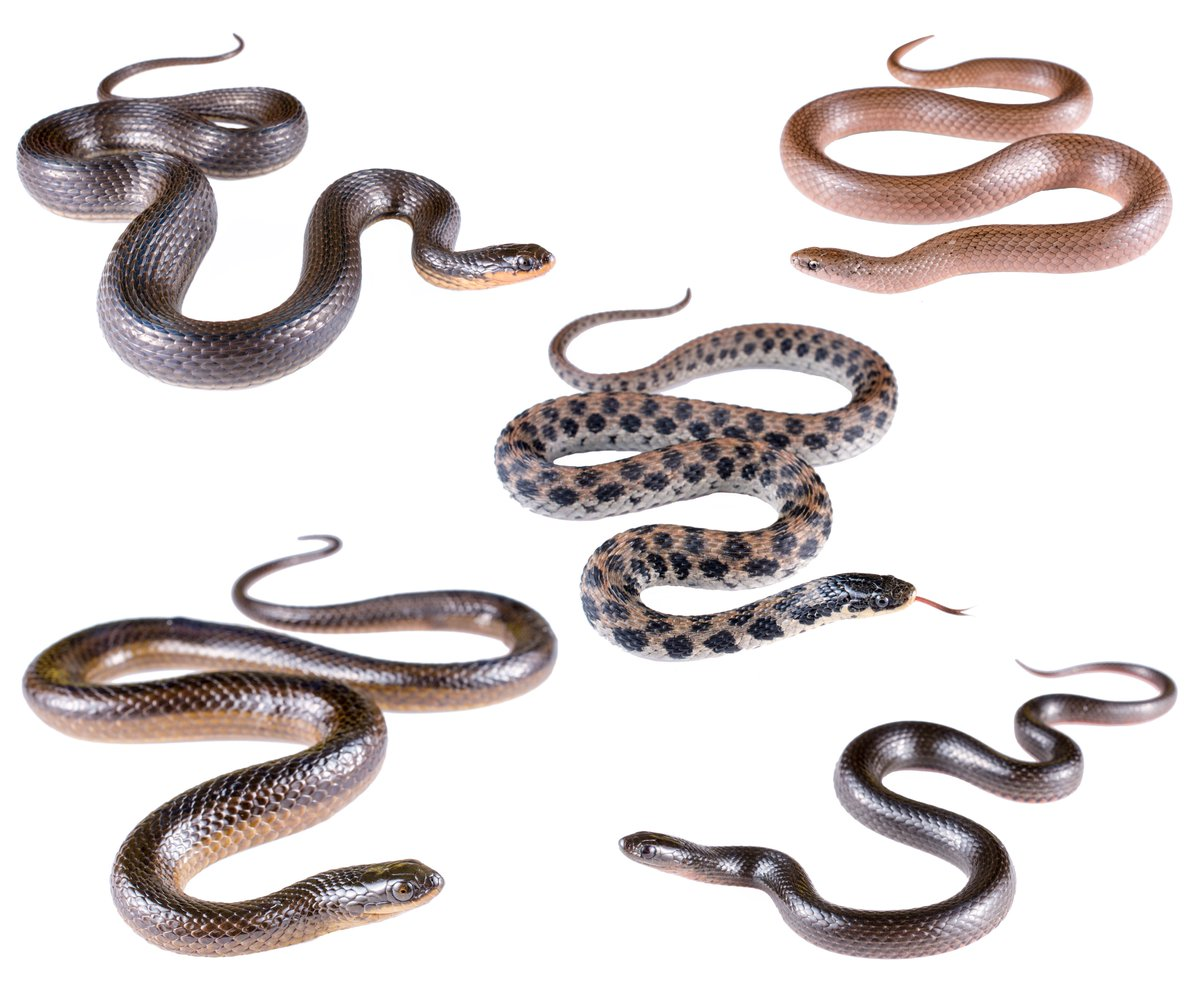 Happy #WorldSnakeDay! Here's a group of beautiful and under-appreciated hygrocolous North American natricine snakes!
