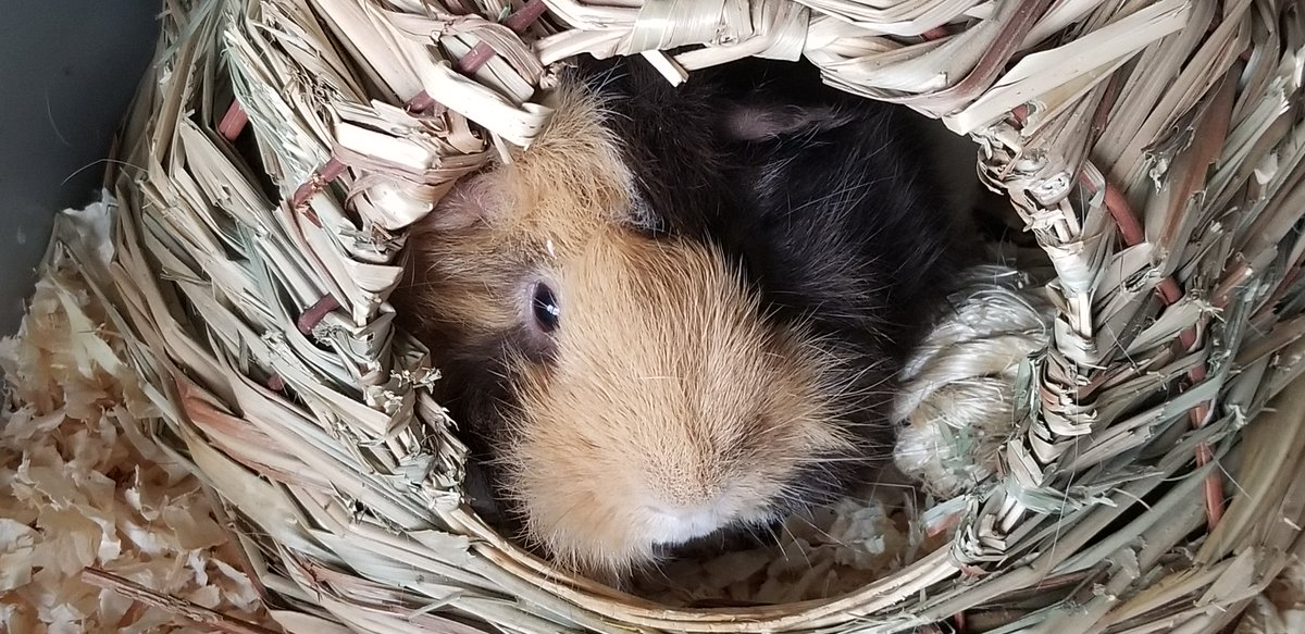 It's #GuineapigAppreciationDay! Are you celebrating with your #LittleFriends? We'd love to see your pics! #MartinSmallPet #LilLeo<br>http://pic.twitter.com/Qi5Trxn06b