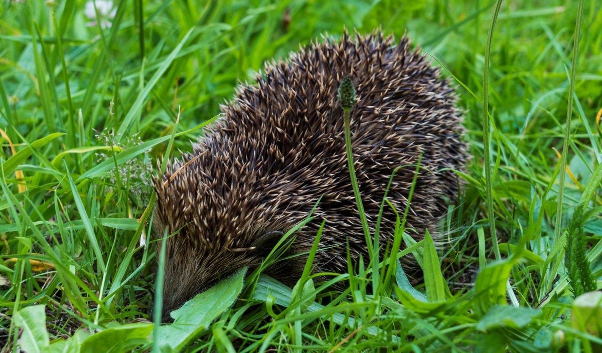 The Hedgehog returns!