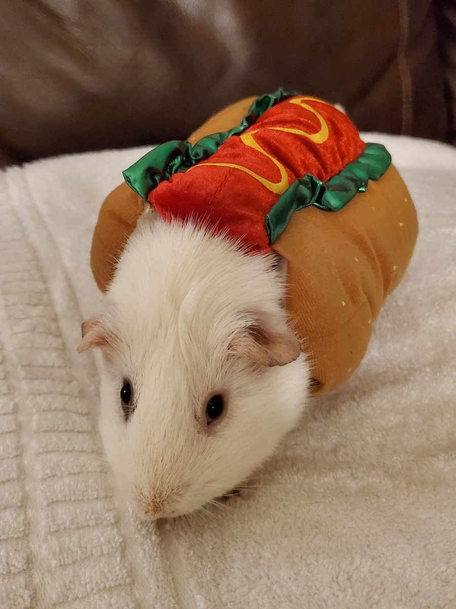 Appreciating this goofy hotdog on #GuineapigAppreciationDay <br>http://pic.twitter.com/RZmCw0rmWI