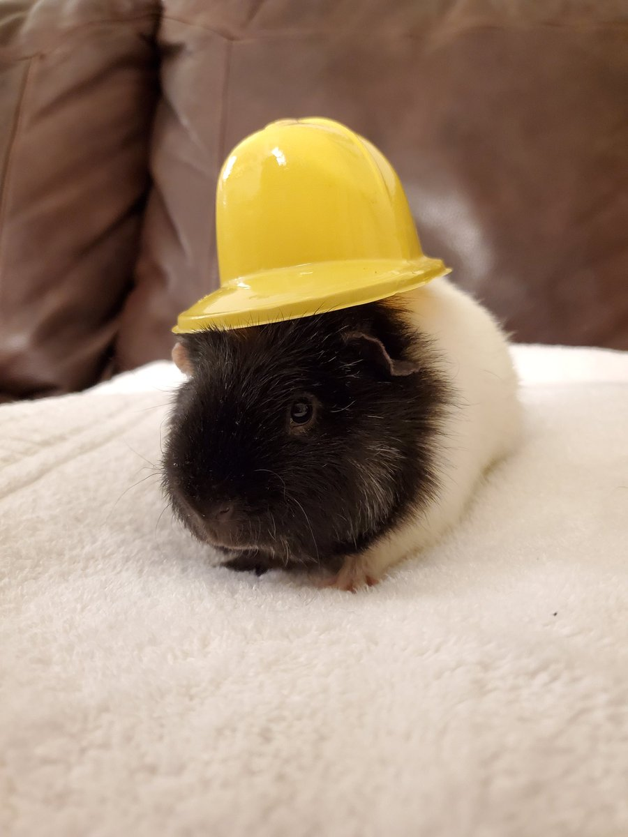 Appreciating my little fuzzy construction worker on #GuineapigAppreciationDay <br>http://pic.twitter.com/rpxu59tqET