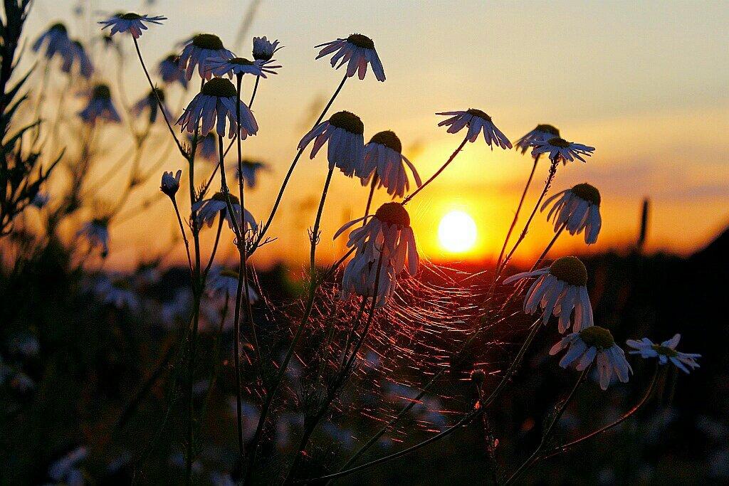 Картинка ромашка на закате