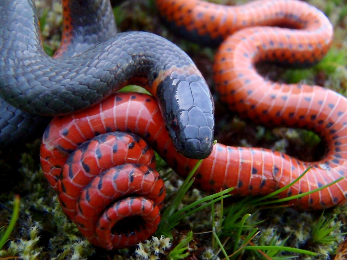 Ringneck snake; Oregon, USA