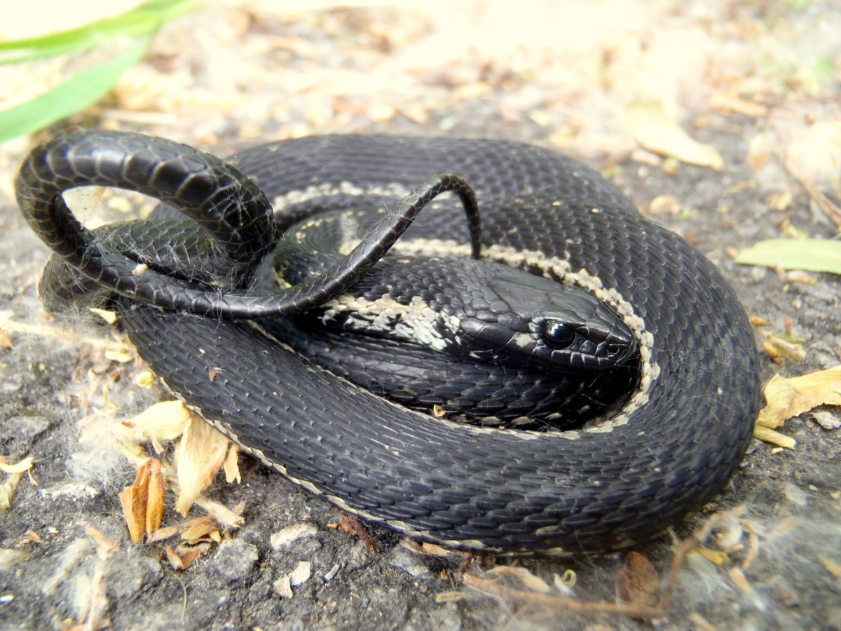 Gartersnake species, Utah, USA