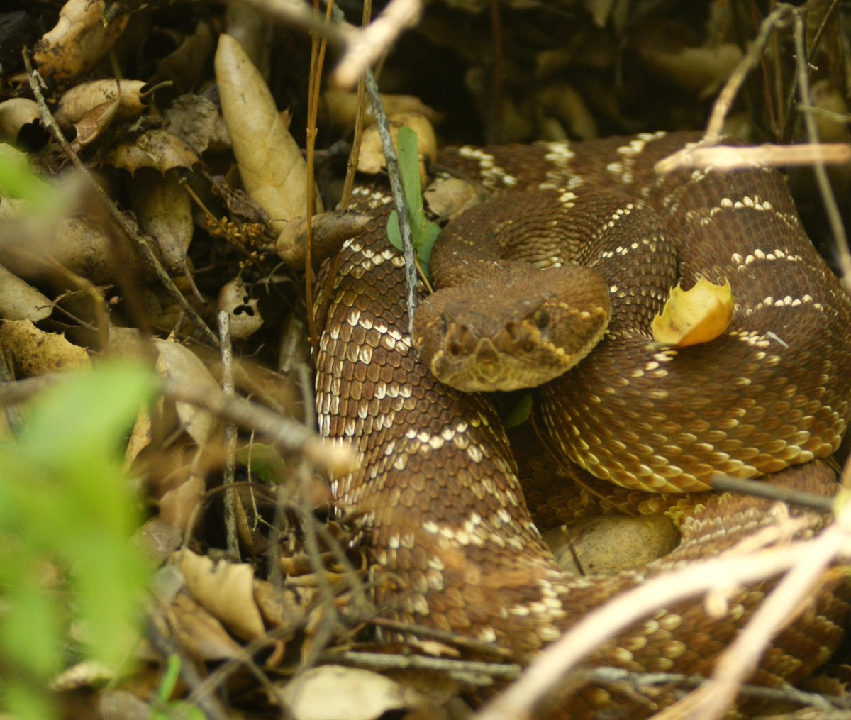 Red diamond rattlesnake; California, USA