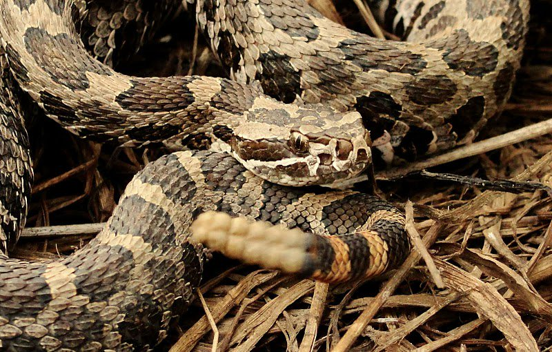 Massasauga Rattlesnake; Illinois, USA