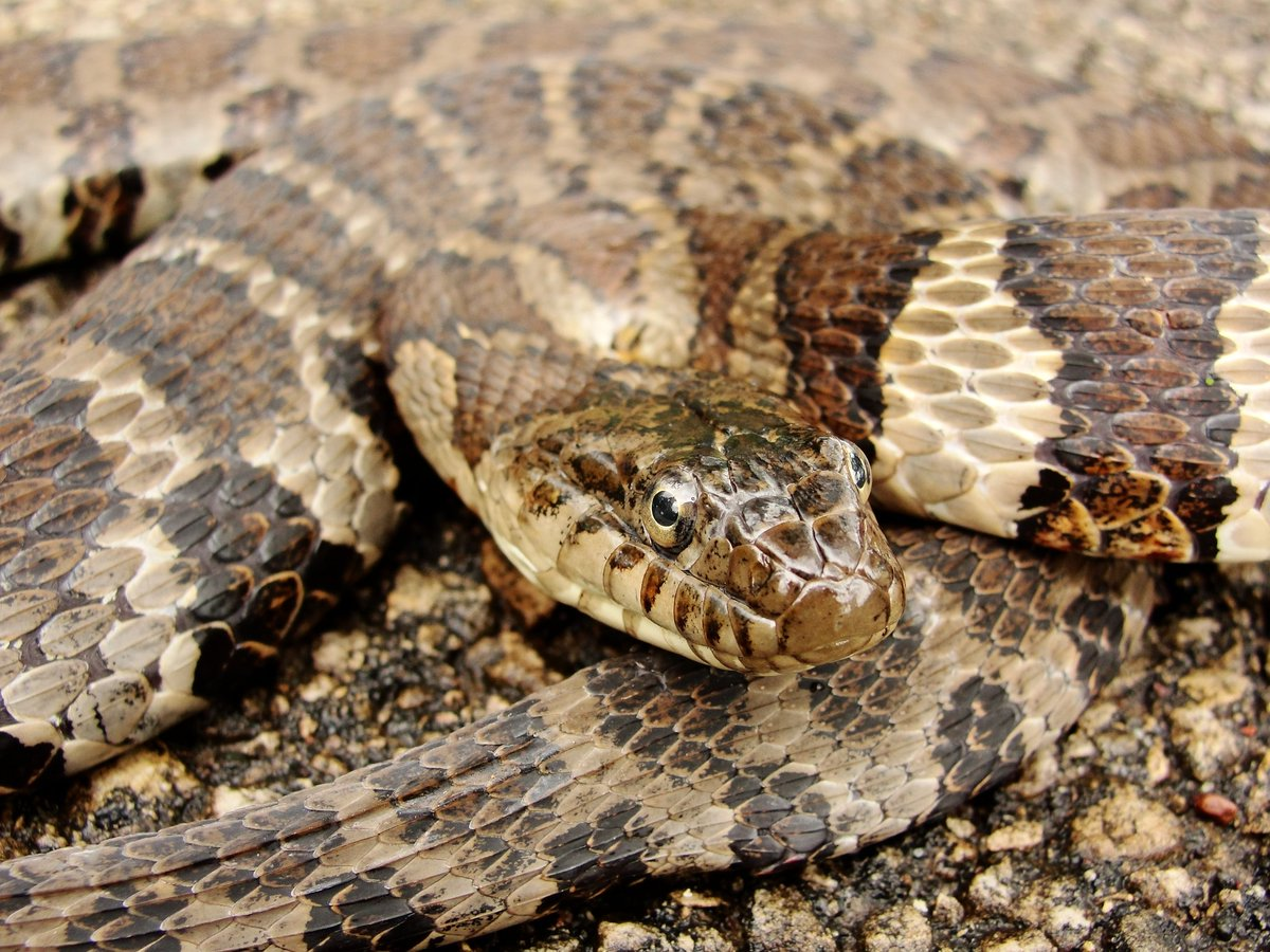 Northern Watersnake; Illinois, USA