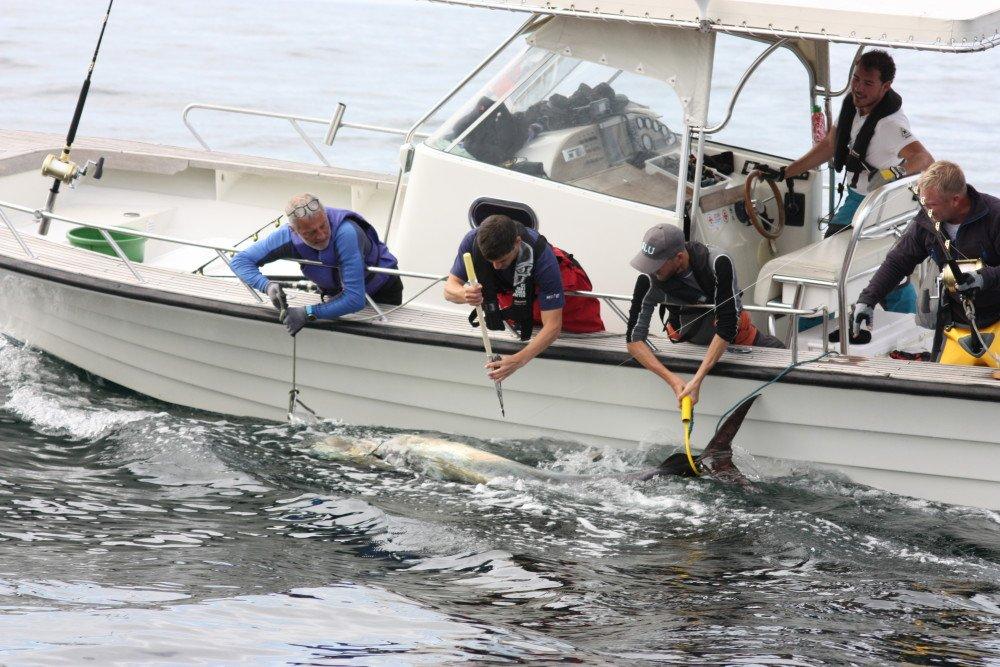 Märkning av blåfenad tonfisk på Västkusten https://www.mynewsdesk.com/se/sveriges_lantbruksuniversitet__slu/pressreleases/maerkning-av-blaafenad-tonfisk-paa-vaestkusten-2898319…