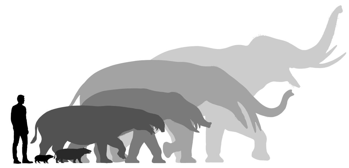 The #evolution of #elephants is really astounding. The oldest proboscideans looked more like hyraxes in both size and shape. Since then there were many tapir & hippo-like forms and plenty of weird ones with crazy tusk arrangements. Later on, some of the largest land mammals ever! <br>http://pic.twitter.com/Hcf7uoehVX