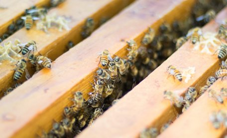 """'Intensive' #beekeeping not to blame for common bee diseases @UniofExeter @UCBerkeley #research suggests. Their study modelled spread of multiple #honeybee diseases & found crowding many colonies together """"unlikely to greatly increase disease prevalence"""". http://ow.ly/MZx850v2ESX"""