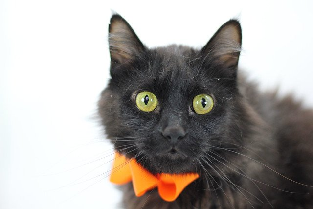 Meet America! She is a 2 y/o Domestic Medium Hair Mix. America is an independent lady who is a bit nervous in the shelter. Once she gets to know you she will be your faithful feline. Come meet America today at the Sprighurst @feederssupply1! Info: tinyurl.com/AmericaKHS #Cats