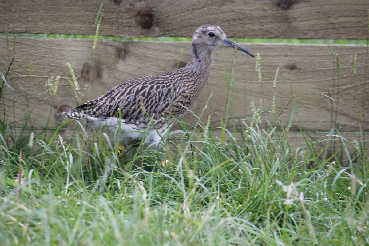 TC is our most well developed curlew so far, but interestingly not the oldest. The team have noticed quite a wide range of difference in developmental times within the headstarted birds.