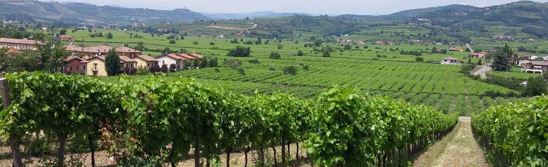 Rows of grapes on vines in the Italian countryside.