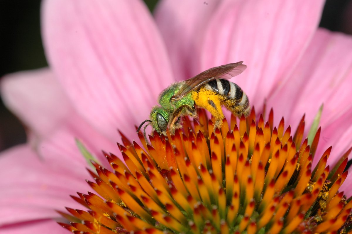 What's that wild bee? Do you recognize it? This one has been named #Toronto's official bee: Agapostemon virescens, a common resident in the city and it's green! #torontobees #beesinthecity @cityoftoronto @TOtrees @YorkUScience