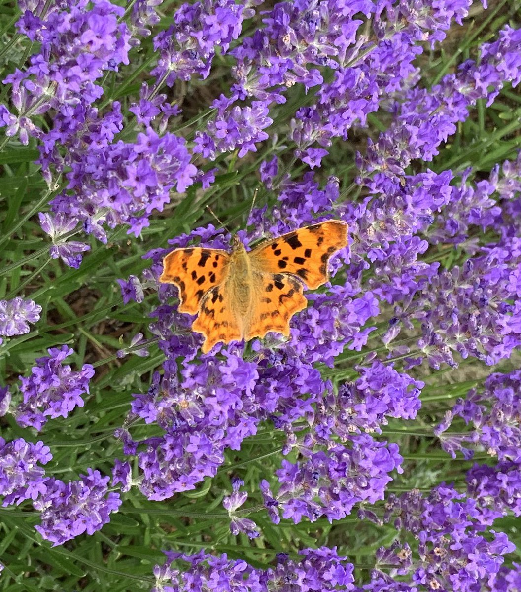The Comma... perfectly poised #butterfly  🦋🦋      💜