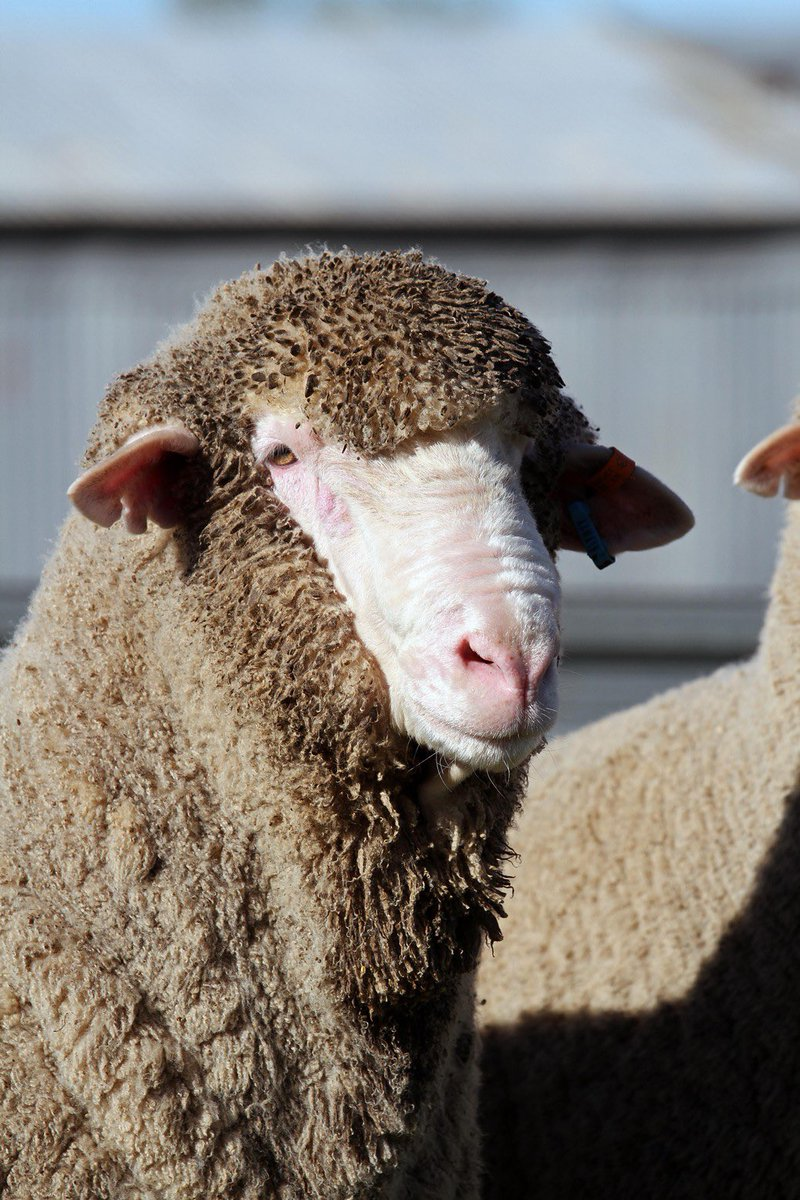 Bendigo bound. We will have 3 other young rams on display. Also Managed to get 180755 on one page.