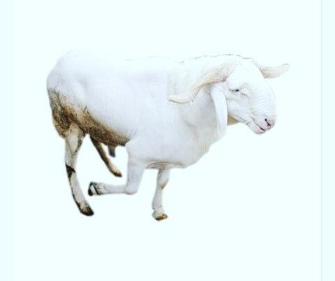Sallah rams, cows, goats all available at affordable prices. *Free delivery* Visit 22farms.com.ng or call/WhatsApp: 07062599973 Give us your price & we would find a befitting livestock for you! Please RT