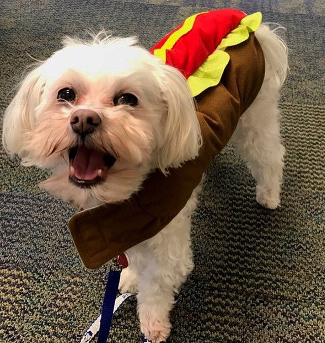 Dogs On Call therapy dog Stewie, an all white Maltese, has a very happy, open mouthed expression while wearing a hot dog costume.