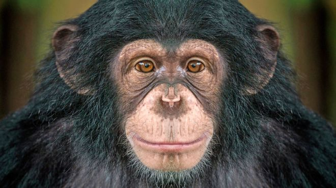 How #chimpanzees bond over a #movie together. Chimpanzees watching a video together get the same sense of bonding and closeness that humans can feel from watching a movie or TV show together, say US university researchers. bbc.com/news/education…
