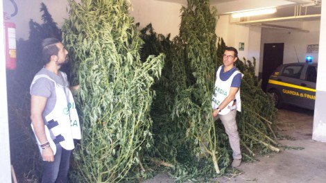 Agrumeto trasformato in piantagione di Cannabis 'shunk', sequestrata marijuana per 20 milioni - https://t.co/pGPJgcptxe #blogsicilianotizie
