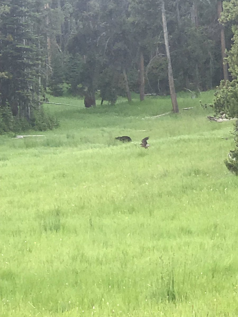 We prayed & asked God to let us see a bear. He not only answered our prayer but also let us snap a pic of the bald eagle flying in front of the bear. #Yellowstone <br>http://pic.twitter.com/wazI123esd