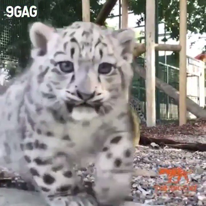 Snow leopard cubs are here to steal your hearts 💕 By @TheBigCatSanct