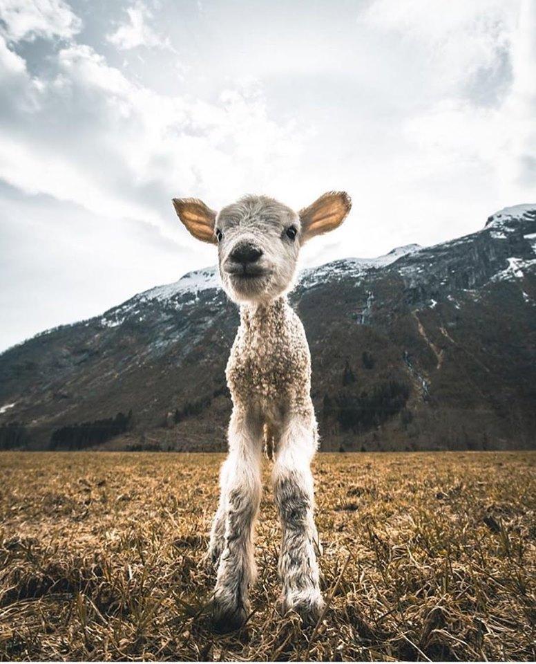 L'innocenza di un agnellino che passeggia tra le #...