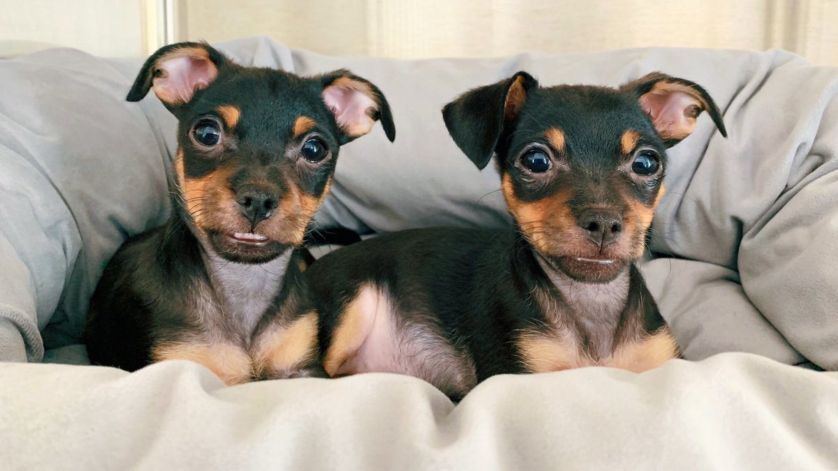 URGENT: Puppy foster homes needed! #WhenMyBatteryIsLow I foster great pups - like Reina & Macho, two adorable Chihuahua puppies hoping to find a loving foster home just for the next three weeks. Can you help them out? Email foster@morrisanimalrefuge.org! 🐶 #ThursdayMotivation.