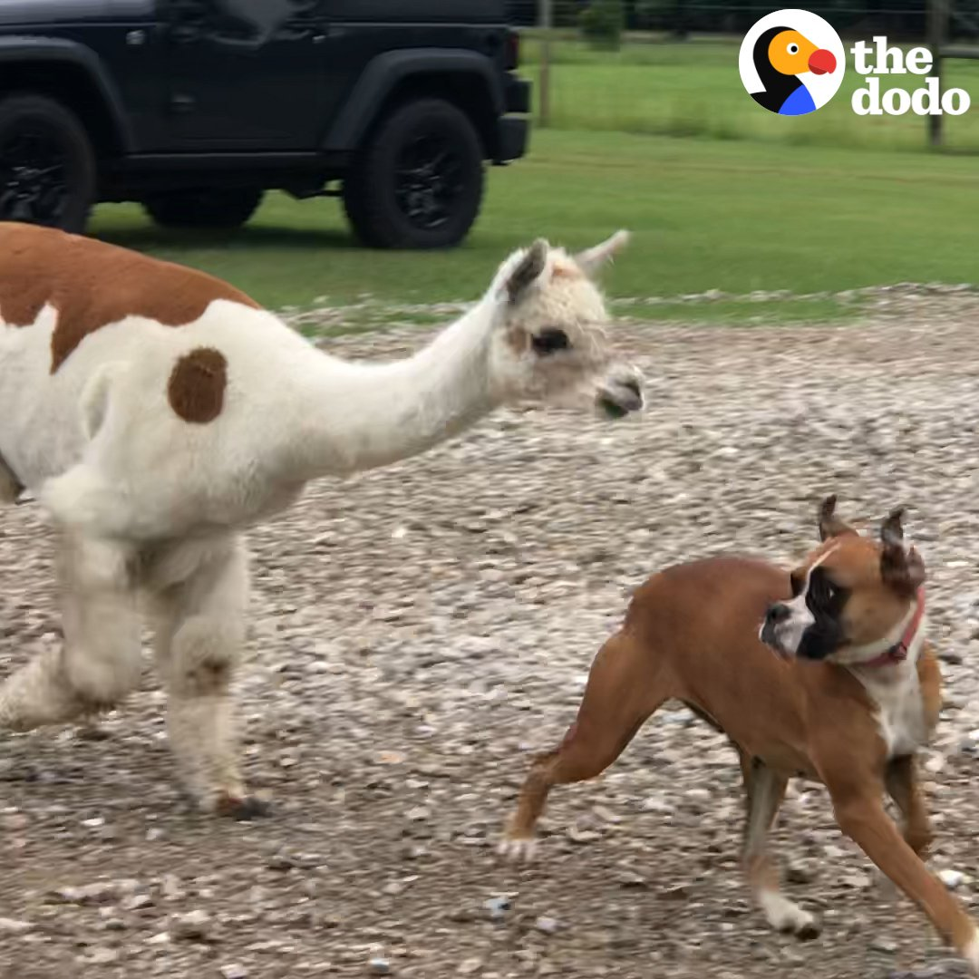 RT @UberFacts: This alpaca was on the LOOSE! https://t.co/BdKGSwIP8W