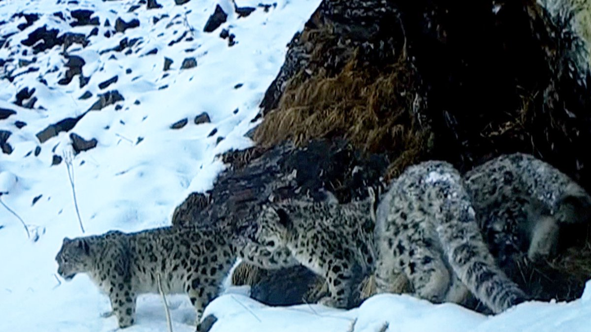 #ICYMI Snow leopard and her cubs captured on infrared camera in SW China