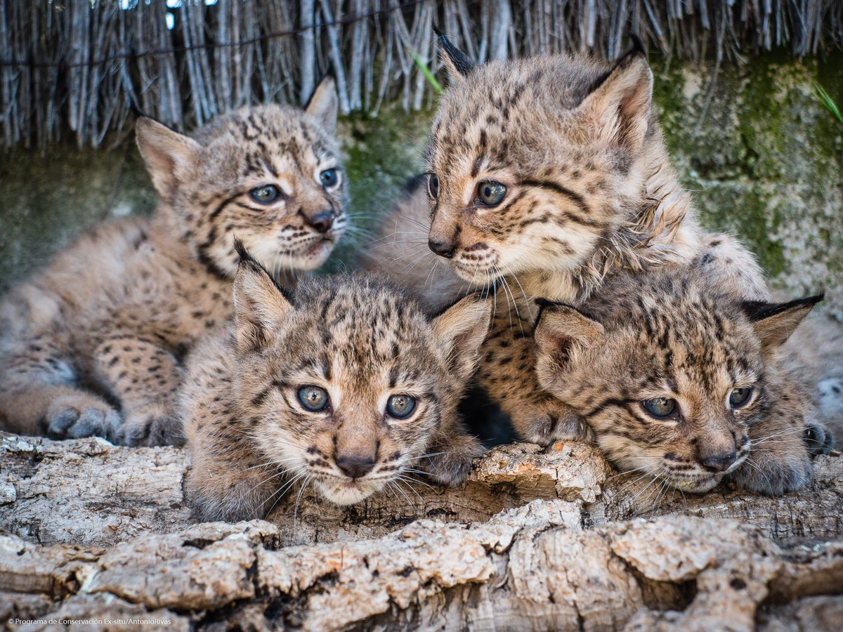 The return of endangered Iberian lynx under the Andalusian sun https://bit.ly/2Solp6E