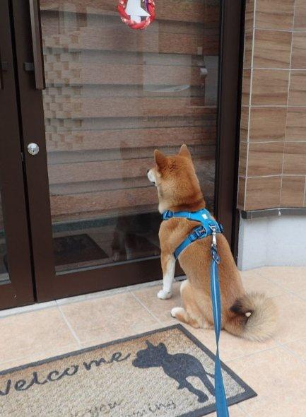 飼い主を引きずってドッグカフェへ来たが定休日だったため途方に暮れる愛犬(なお飼い主は定休日であることを知ってて付き合った模様)