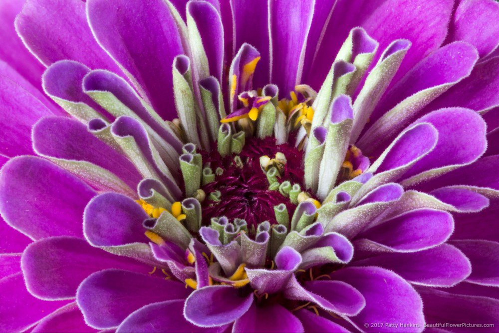 Purple Zinnia - 10 images stacked in Helicon Focus https://t.co/IAM0zsNBFP