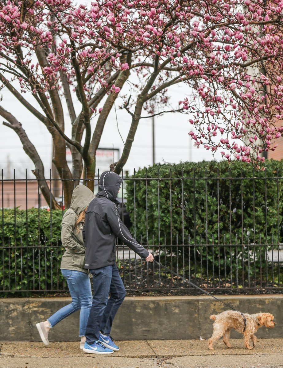 Indystar On Twitter Blooming Magnolia Trees Are One Of The
