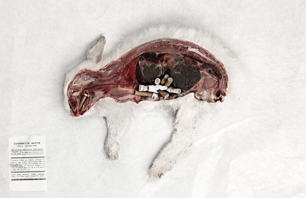 【現実】ポイ捨てされたタバコの吸い殻を食べて命を落とす生物がいること  街に捨てられたタバコは最終的に川や海に流れ込み、水を汚染し、間違って食べてしまった生き物達は命を落とす場合も多い。タバコの有害物質を取り込んだ魚を私達が食べている可能性も少なからずある。