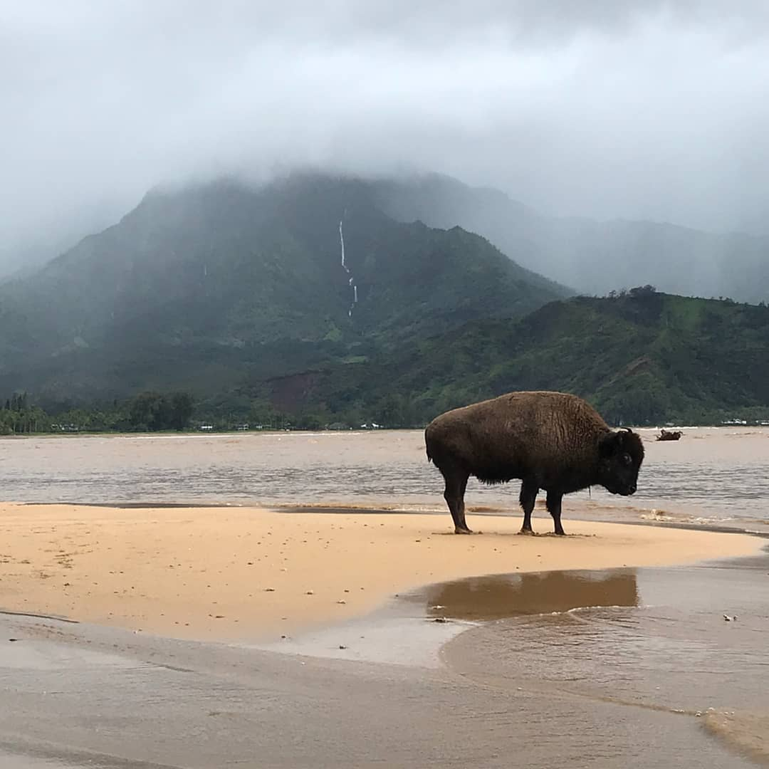A stunning sight, a buffalo in Hanalei after historic rains. 📷: @ianisonline  We are safe but flooding has devastated so much of the north shore. Friends have lost homes, animals have drowned... thanks for sending your prayers, we are safe and dry. Hoping it dries up soon. 🙏🏼 https://t.co/VQs71HmAoS