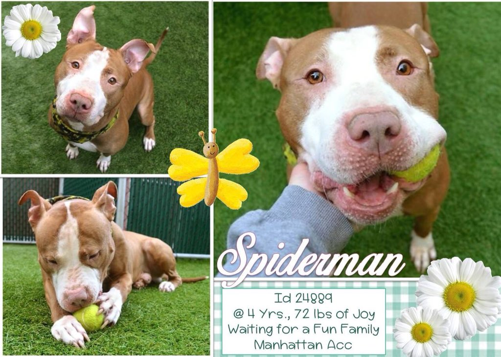 FRIENDLY #SPIDERMAN  IS A SWEET BOY WHO IS SO ADOPTABLE BUT #NYCACC HAS CONDEMNED HIM FOR A TREATABLE #COLD! #RESCUEDOGS #FOREVERHOME   #FOSTER #ADOPT #SAVEALIFE #CIRDC #EndBSL #RescueIsTheWayToGo  #HumaneNY  #SaveSPIDERMAN  https://www. facebook.com/mldsavingnycdo gs/photos/a.428526917333584.1073742030.112453902274222/709402259246047/?type=3 &nbsp; … <br>http://pic.twitter.com/DGq4bbGlgD