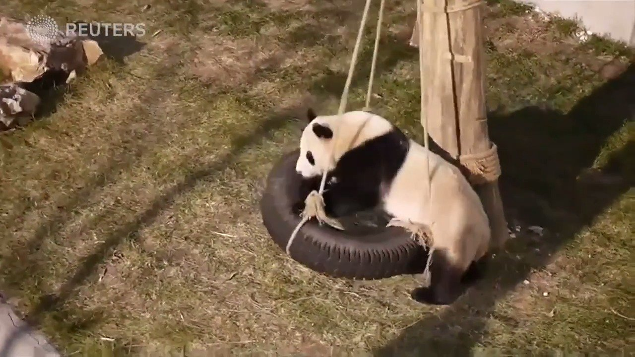 The weeble, wobble and fall down. Giant pandas fall during play time https://t.co/KbWH4xbhEY